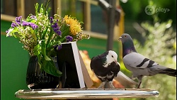 Prue the Pigeon, Gary the Pigeon in Neighbours Episode 8580